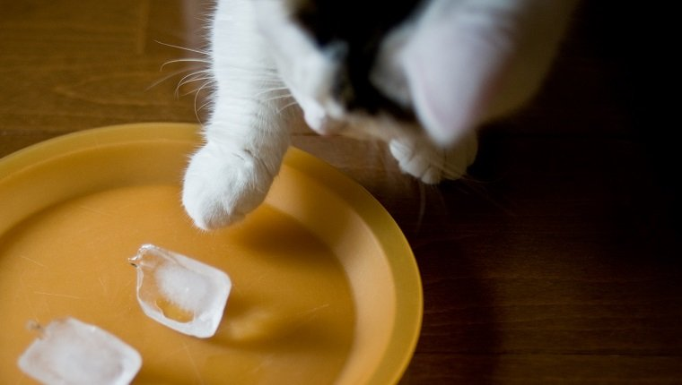 Male tabby munchkin cat playing with ice cubes on plastic plate.