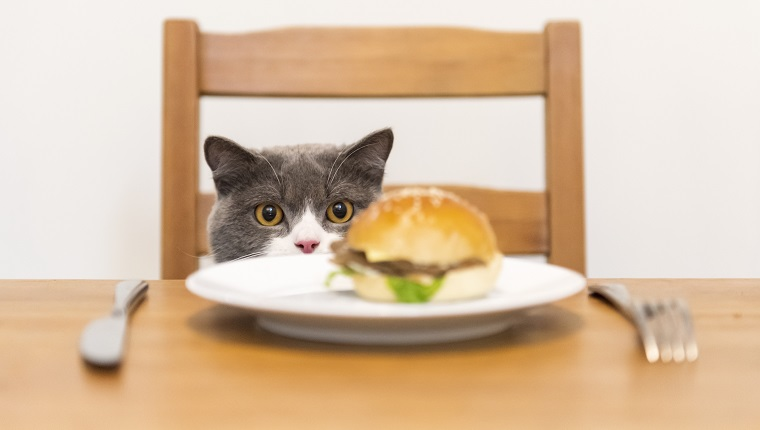British shorthair cat looking at hamburger on the table