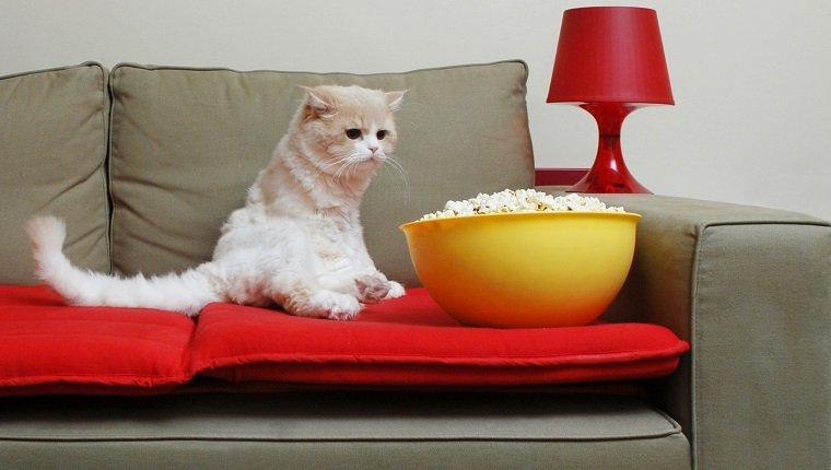 Cat Looking the Popcorn