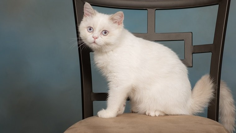 Napoleon Mixed Cat Breed Pictures Characteristics Facts