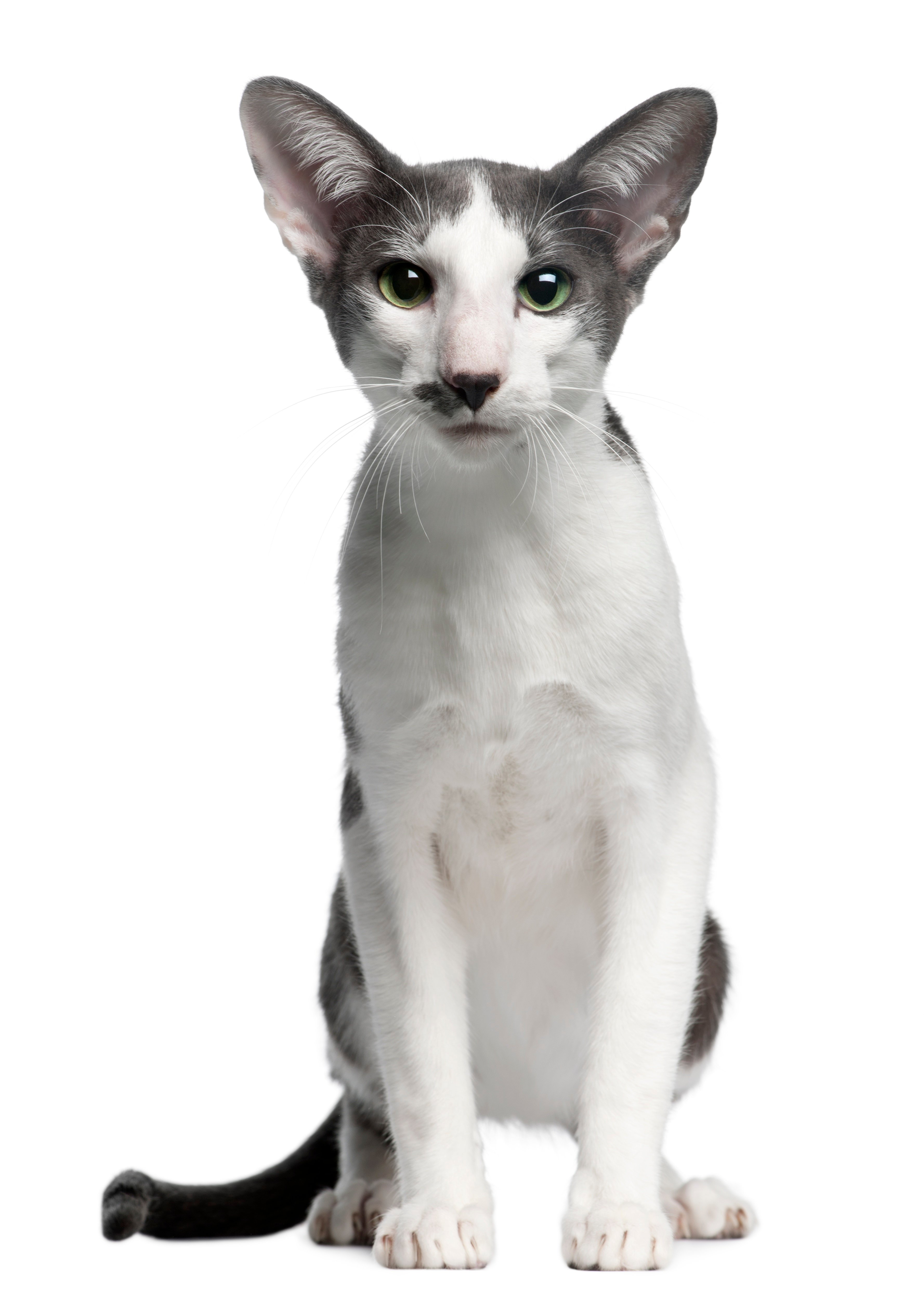 Oriental Bicolor Mixed Cat Breed Pictures Characteristics Facts