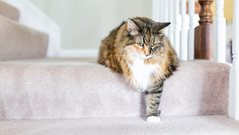 Maine Coon calico cat funny resting one paw on carpet floor steps indoors inside house comfortable looking down sad, large breed neck mane or ruff