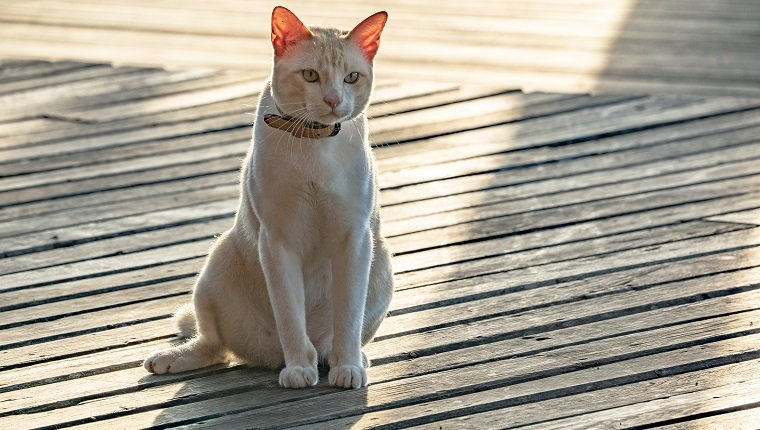 Asian Mixed Cat Breed Pictures Characteristics Facts