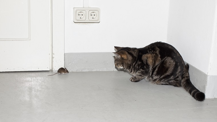 A cat and a mouse face each other