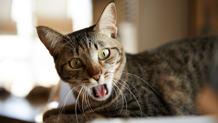 A domestic tabby cat yawning.