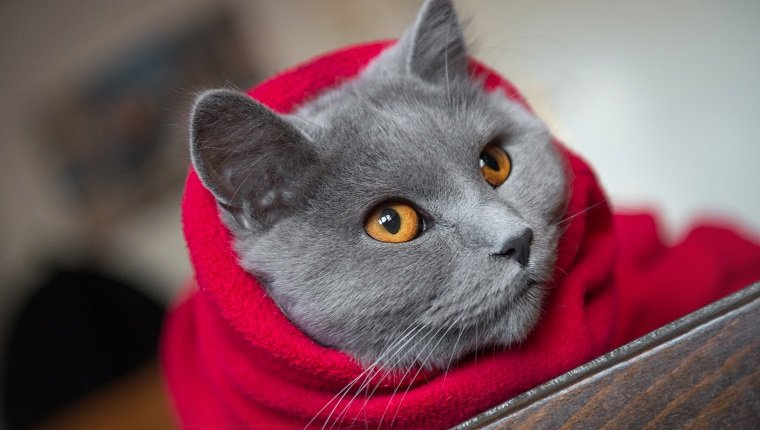 Cat wrapped in a red blanket, ready for cold winter days