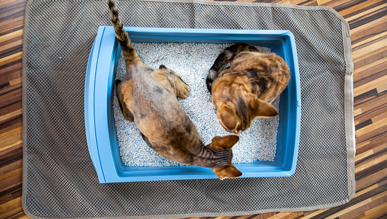 High Angle View of Devon Rex Kittens Sharing the Same Litter Box