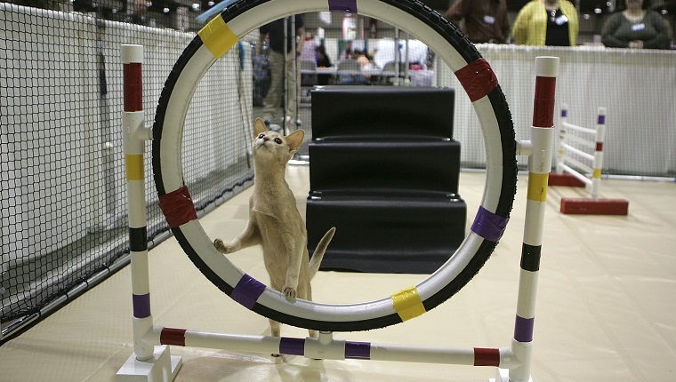 """SAN MATEO, CA - NOVEMBER 18: An Abyssinian cat contmeplates jumping through a hoop while practicing an agility course during the 18th Annual Cat Fanciers' Association International Cat Show November 18, 2005 in San Mateo, California. The three-day CFA International Cat Show is the largest pedigreed cat show, featuring more than 800 felines and representing 41 breeds. The show runs through Sunday when one cat will be awarded the coveted """"best in Show"""" title."""