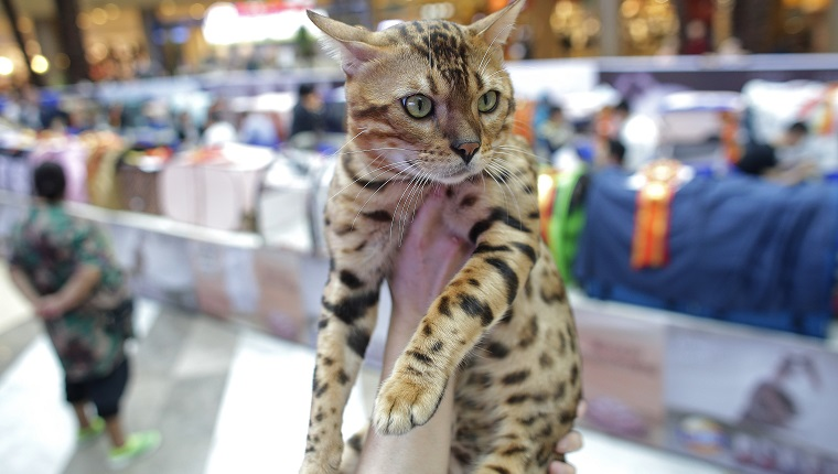 WUHAN, CHINA - OCTOBER 22: A Leopard cat during the 5th TICA international cat show at the Aoshan Shiji Plaza on October 22, 2016 in Wuhan, Hubei province, China.