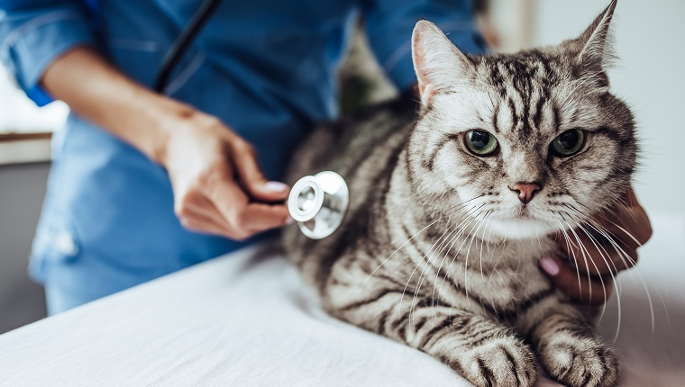 Cropped image of beautiful female doctor veterinarian with stethoscope is examining cute grey cat at vet clinic.