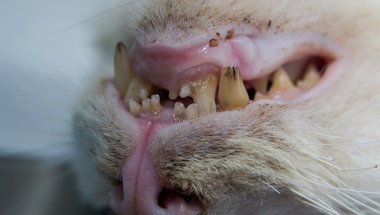 old cat with caries teeth