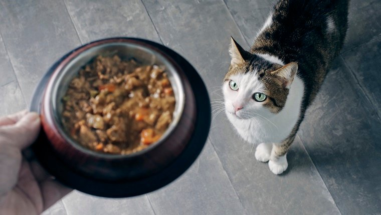 cat getting food from owner, may have food allergies