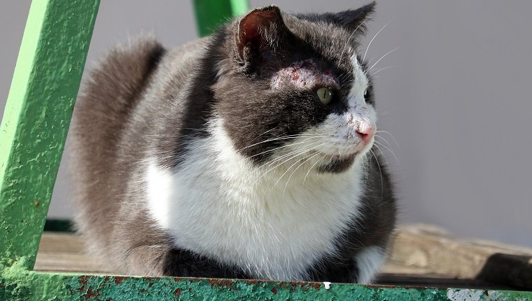 The cat is infected with feline sarcoptosis or scabies. Sarcoptosis or scabies is caused by the Sarcoptes scabiei tick. Diseases of domestic animals.