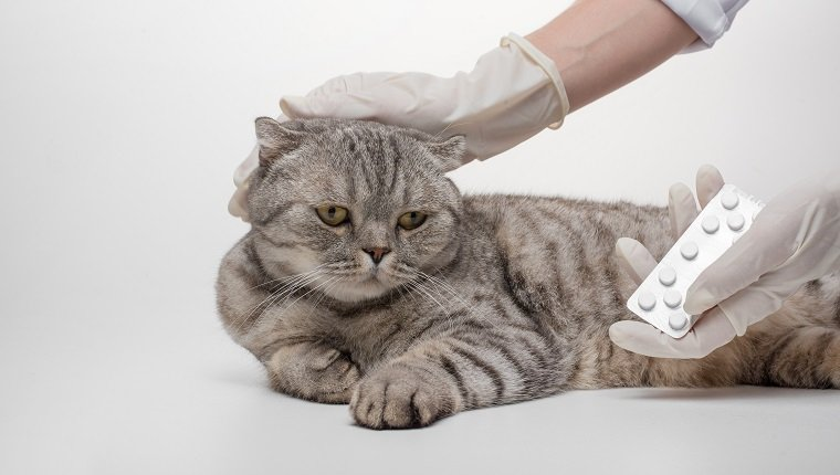 Scottish cat in color Whiskas. A cat receives a dose of medication from Veteneur on a white background, isolate