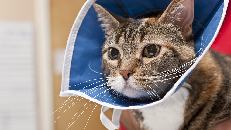 A young cat looks anxiously after a veterinarian completes a procedure in an animal hospital. The cat wears a collar to keep it from disturbing the area of treatment. Might need robenacoxib.