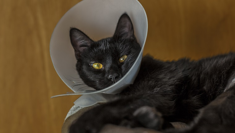 Domesticated black cat, Cat with plastic cone collar after surgery, the cat is resting on his dpecial cat bed, and looking scared of the momment as it just got a surgery