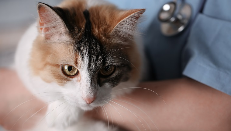 Young female doctor Veterinary with a three color cat on arms. medical equipment on background. May prescribe clindamycin.