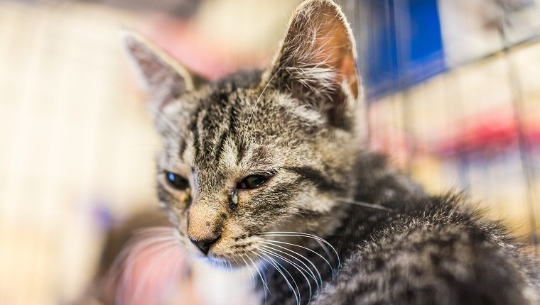 Portrait of one sad tabby kitten with eye infection in cage waiting for adoption