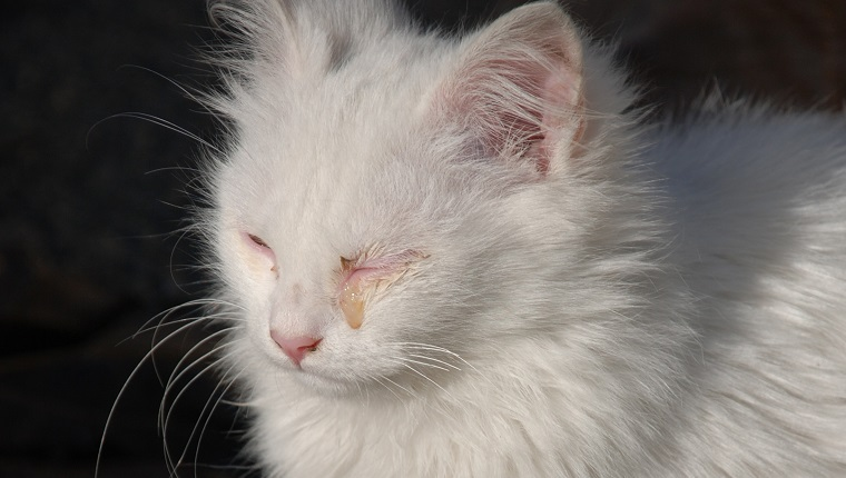 A young white kitten with a seeping eye as a result of an infection.