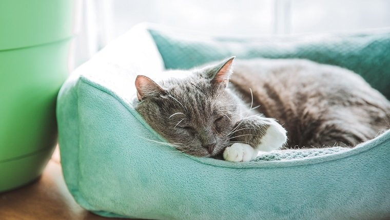 Indoor cat sleeping in pet bed. Senior cat is a gray and white tuxedo cat. Conceptual image for care, comfort, and relaxation for pets.