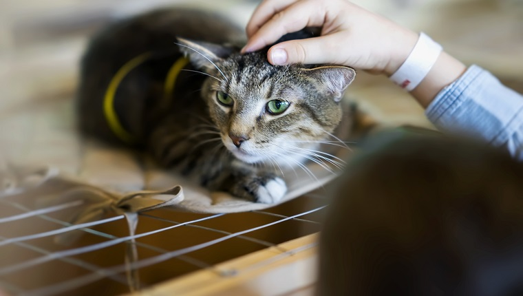 Afraid homeless alone cat with frightened look, lying on cage in shelter waiting for home, for someone to adopt him. Girl volunteer tries to calm and support the kitten, , caressing