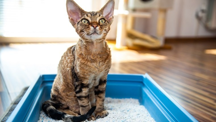 Obedient Devon Rex Cat Sitting in Litter Box in Living Room