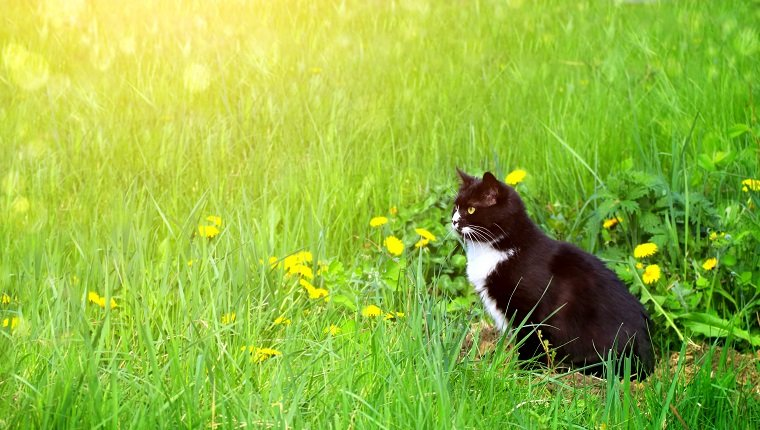 Cute black and white cat on summer lawn. Horizontal sunny background with kitty, green grass and dandelions. Copy space for text