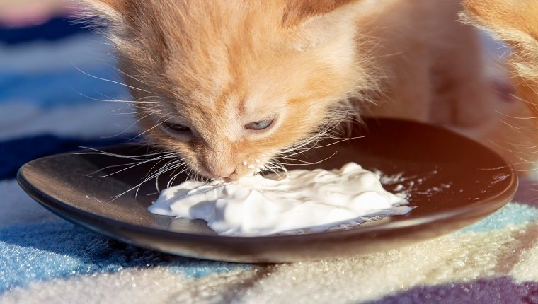 A small red kitten eats sour cream from a black saucer. Front view