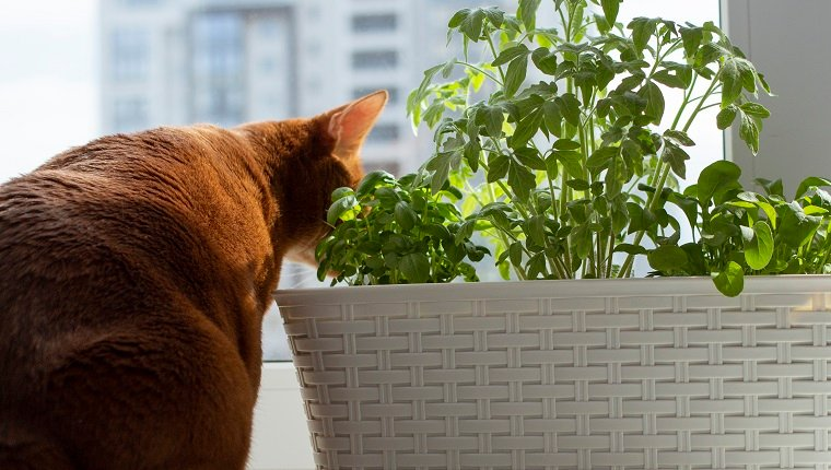 Microgreen on the windowsill and curious ginger cat near. Seedlings of tomatoes, arugula, basil