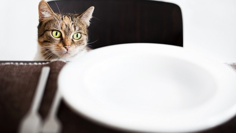 Cat sitting on a chair and looking over an empty plate. Some grain visible.