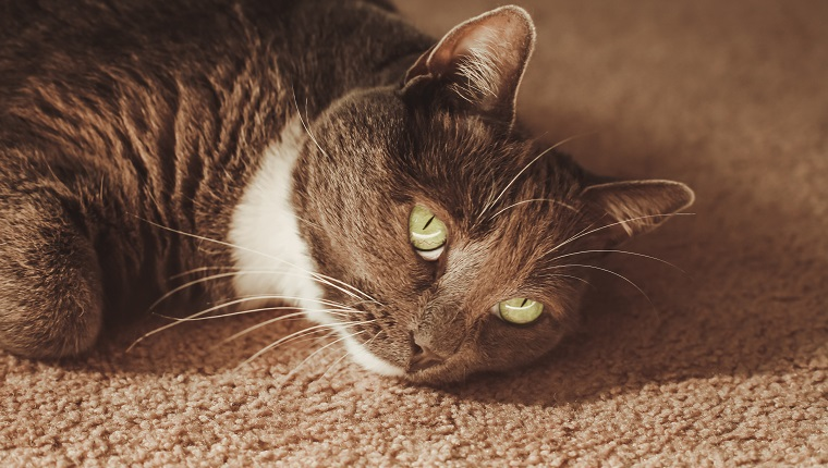 Cute cat with beautiful green eyes, indoor cat. Domestic cat is a gray and white tuxedo cat. Conceptual image for boredom, sadness and depression.