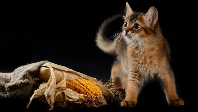Cute somali kitten on the black background playing with corn