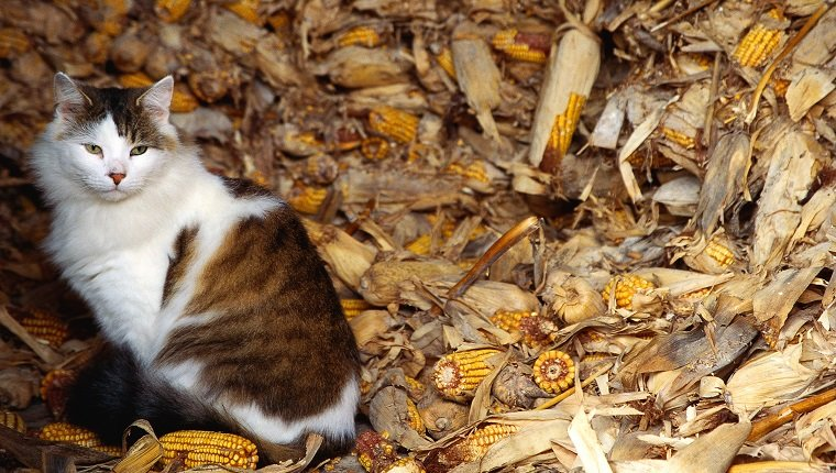 Domestic cat sitting with pile of corn