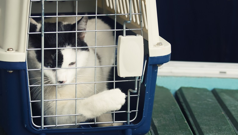 White and black cat inside a pet carrier trying to open the door to scape from visiting the vet, tears in his eyes.