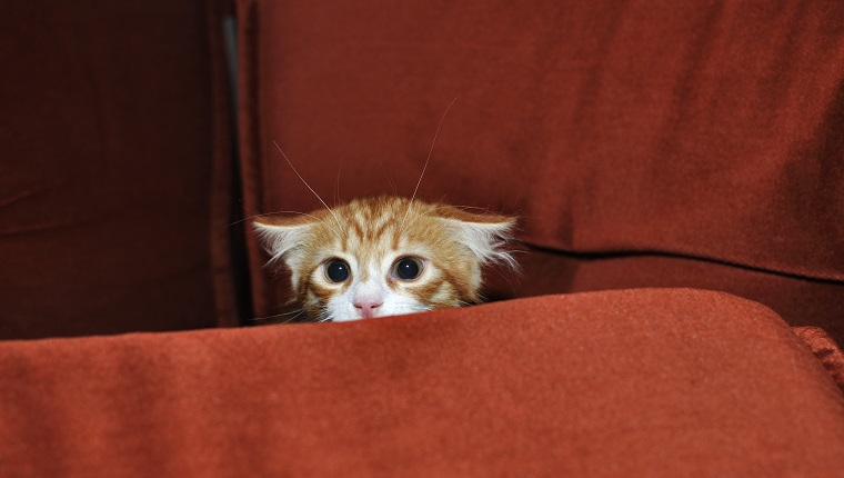 Ginger kitten frightened looks out for obstacles