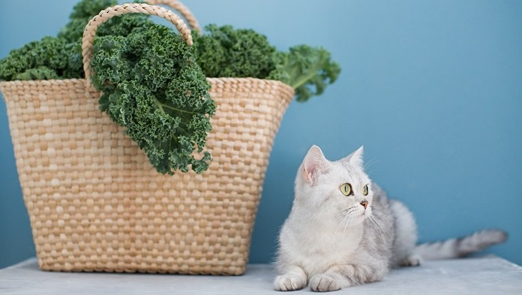 Grey cat and green curly kale salad in straw eco bag on a blue background