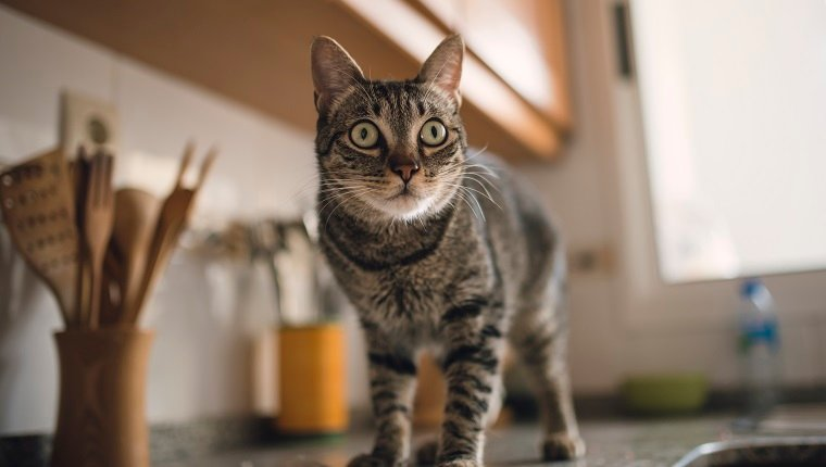Spain, Tabby cat portrait at home