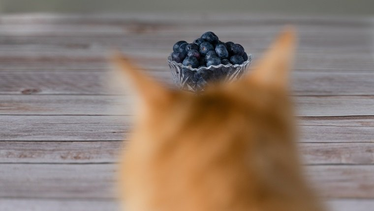 Cat looking at the jar of blueberry that forms a crown on the cat's head.