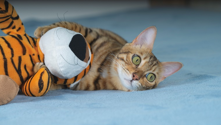 Bengal cat hugs a plush toy with its paws.