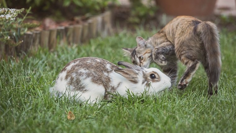 Rabbit and kitten playing in the garden