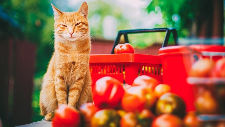 Red fluffy cat with fresh tomatos