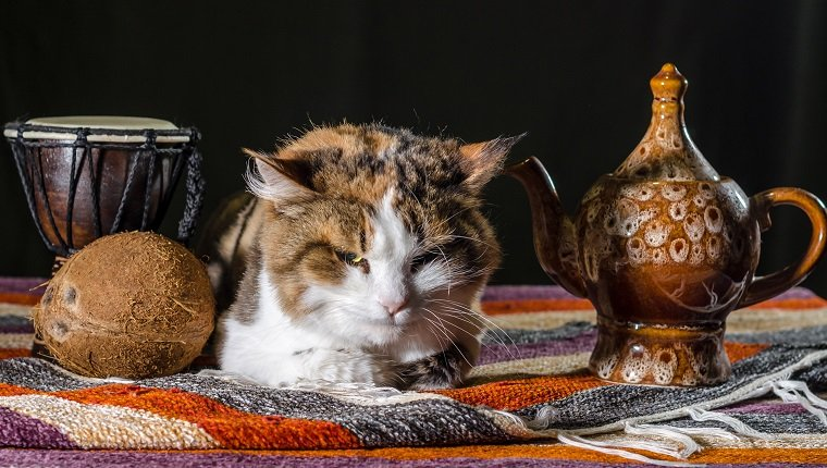 dissatisfied cat with a kettle drum djembe and coconut on a colorful striped carpet