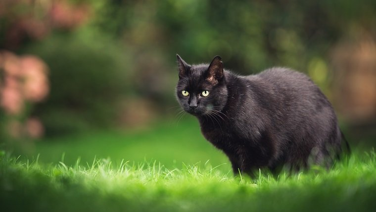 black domestic shorthair cat with ear notch standing on meadow with plants in the background
