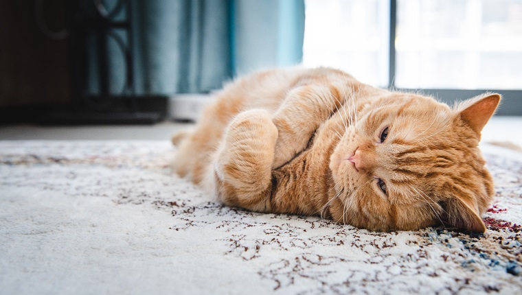 Fat ginger cat lying on carpet with an annoyed expression on her face