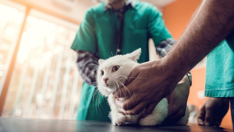 Unrecognizable veterinarians having a medical examination with a white cat.