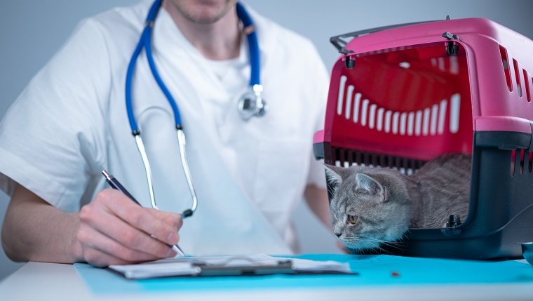 Tabby cute cat Scottish Straight breed on visit to vet doctor at animal hospital. Happy european veterinarian with clipboard in clinic next to pet carrier at examination table. Veterinary practice.