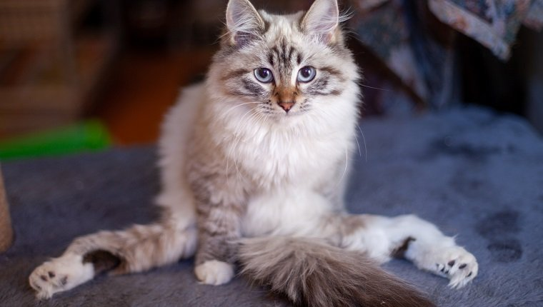 Disabled kitten with sore paws. Siberian masquerade.