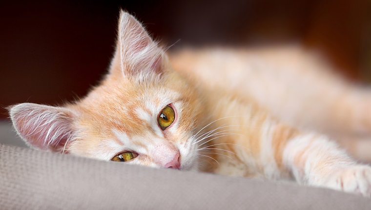 Cute little red kitten are laying on a pillow and loking at camera, pet at home.