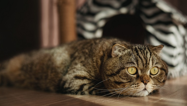Scottish fold cat is missing someone or dreaming of miracles