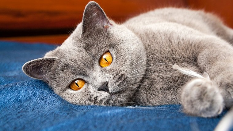 Pensive cat lying on the couch, British Shorthair blue color with orange eyes